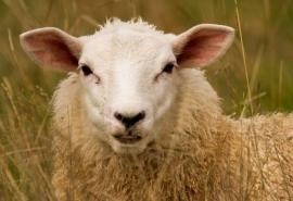 В Омской области рецидивист позарился на овцу соседа