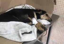 Переломанный машиной на окраине Омска щенок Шанти из последних сил борется за жизнь