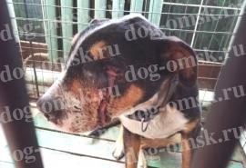 Пожилого омского пса-автоохранника Графа заживо поедает агрессивное заболевание