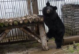 С появлением соперницы омская медведица Кроха коварно завлекает в свои сети жениха Кузю, которому не раз ...
