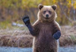 Омские охотники и чиновники переругались из-за шкуры «не убитого медведя»