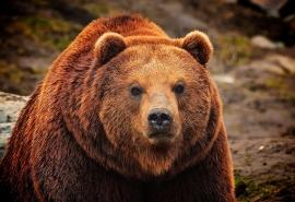 В Омской области разрешили истребить каждого десятого медведя