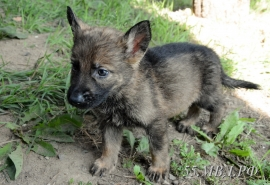 Кинологи омской полиции пристраивают щенка немецкой овчарки, не подошедшего для службы