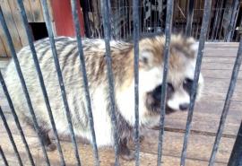 Омская енотовидная собака Матрена считала себя одинокой, но обзавелась сразу несколькими близкими ей по ...