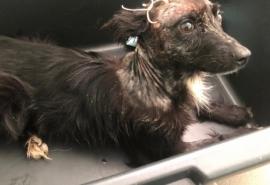 Омские щенки Бибик и Маруся, пережившие снятие скальпа, не могут смириться с тем, что никому не нужны