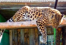 Омский леопард Граф отверг уже вторую невесту, несмотря на короткий роман