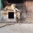 Омские львы Крис и Агнесса, отселив сына, с нетерпением предались любви