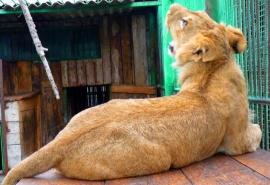 Омский львенок Мишка переехал ради интимного благополучия родителей