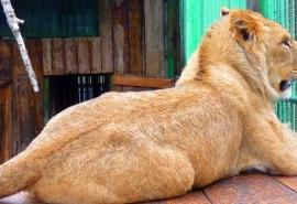 Поселившийся отдельно от занятых любовными играми родителей омский львенок Мишка стал геймером-кутилой