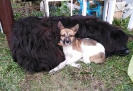 Омский позитивный щенок Даля с отрезанной поездом лапкой, едва обретя дом и семью, лишилась его