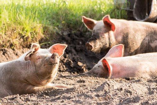 В 8 регионах России зафиксировали африканскую чуму свиней