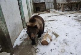 Омская медведица Соня довольна тем, что стала жирненькой