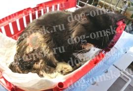 Кота Ваську, некогда пожираемого червями, полюбила и забрала домой омичка