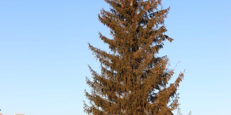 Уфу украсили еще две 17 и 27-метровые лесные красавицы