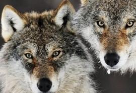 В Омской области втрое выросло количество волков
