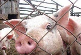 В Омской области вновь готовятся к африканской чуме свиней