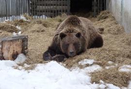 Медведица Маша передумала просыпаться, увидев омскую весну