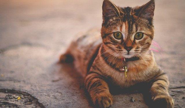 Кошка заразилась коронавирусом во Франции