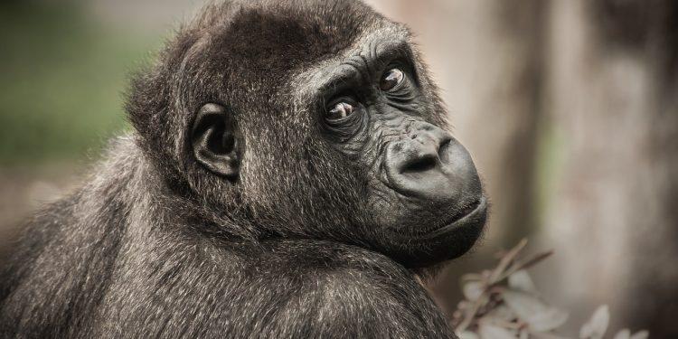 У некоторых шимпанзе в сердце растет кость