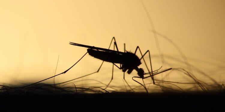 Внедрение одного гена превратило самок комаров в самцов