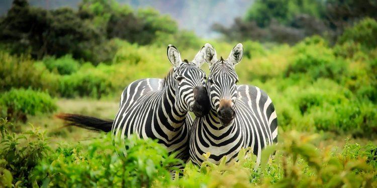 Ученые разгадали тайну полосок зебр