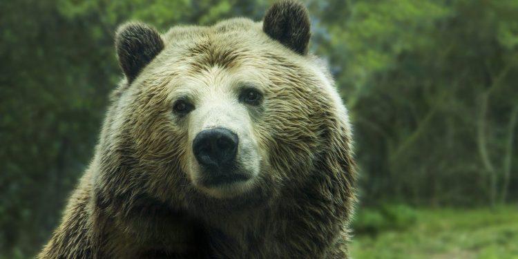 Мумия вымершего 15 тыс. лет назад медведя обнаружена в Якутии