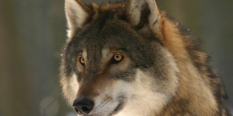 Волков научили привязываться к человеку не хуже собак