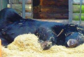 Разбившая сердце жениху Кузе омская медведица Даша все же отправилась с ним спать