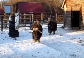 Омский подросток-овцебык Шаман встречает Новый год Быка со строгой мамой и загадывает желание отметить ...