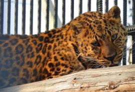 Леопард Граф недоумевает и не может понять, чего от него хочет требующая любви женщина