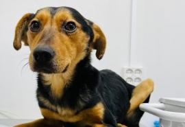 Собака, спасенная из дома предполагаемого омского живодера, оказалась в депрессии и больной