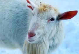 Омский козел Василий в новой жизни обзавелся неподходящей подружкой и рогами, которых быть не должно