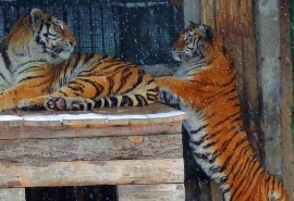 Омские тигры Граф и Аза остались без романтики, потому что погрязли в быту и некуда деть детей