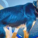 Собака Элька, спасенная от омича, обвиненного в расчленении щенка, растолстела, повеселела и пытается забыть