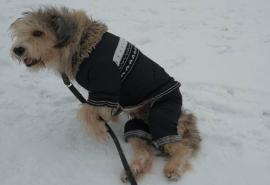 Омский парализованный пес Келли после выстрела в спину нашел в себе силы встать на лапы