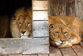 Горячо влюбленные омские львы Крис и Агнесса раскрыли секрет идеального брака без ссор и скандалов