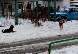 Омичка пожаловалась на стаю бродячих собак, которая «терроризируют» людей