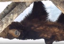 Омская медведица Маша, оставшись без детей с утра, принялась за бьюти-процедуры